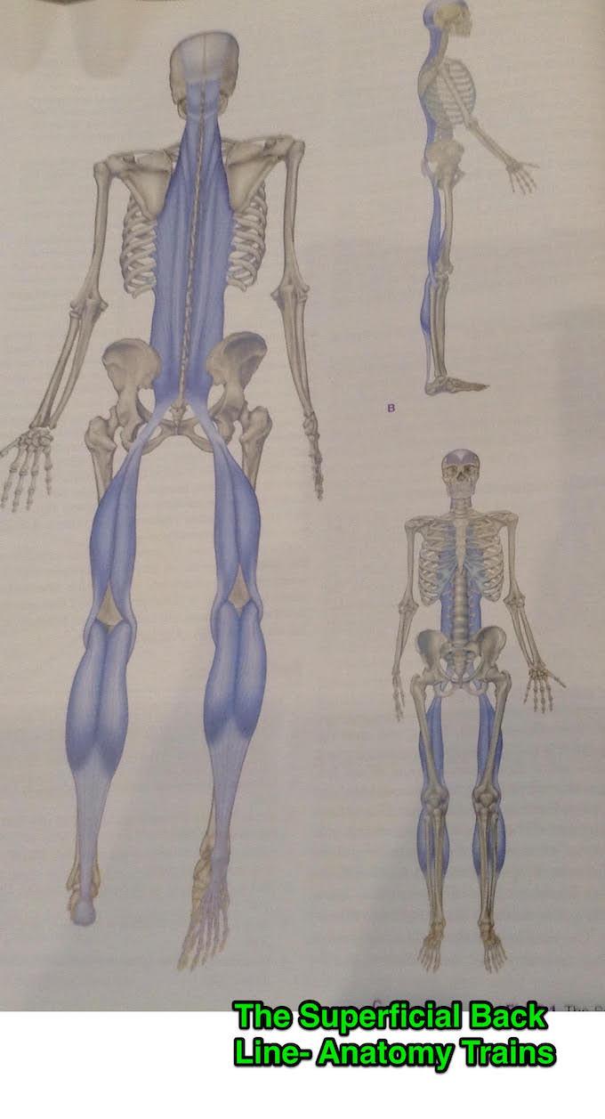 Image of illustration of super fascial back line