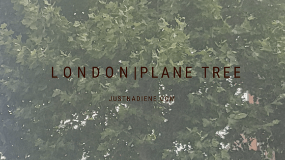London Plane - Our special trees
