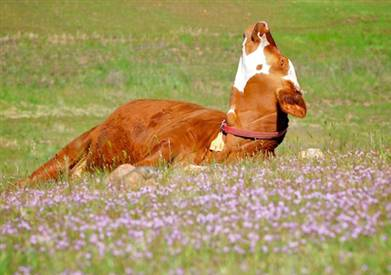 Cow Takes Time To Smell the Flowers
