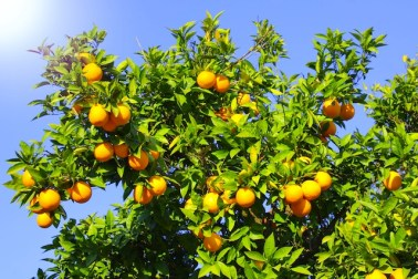 orange-tree-fruit