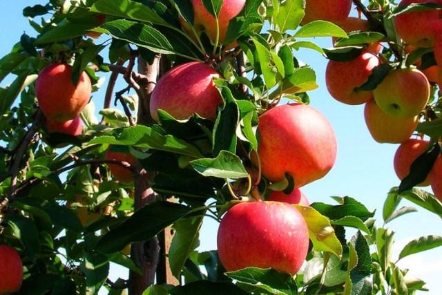 apples-growing