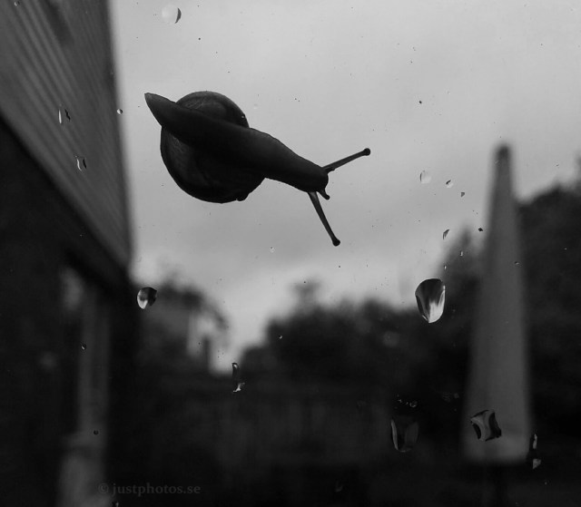 Garden Snail on the rainy window