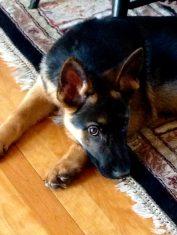 innocent marshal dillon dingle puppy