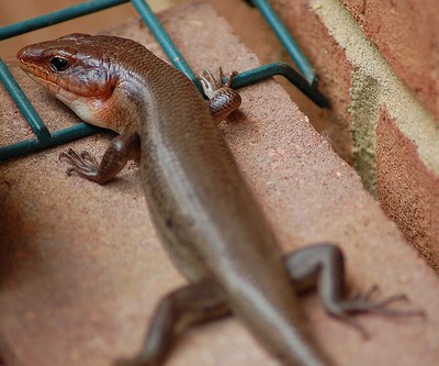 Nature: Broad-headed Skink
