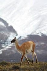 Vitcuna at Torres del Paine