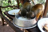 Squirrel Monkey Milk [50%]