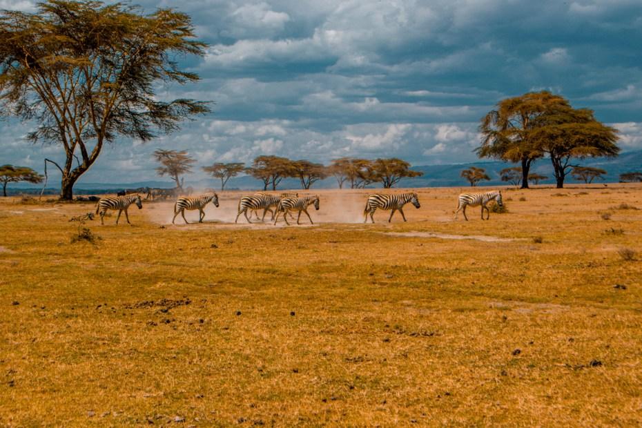Zebras at Crescent Island,Naivasha