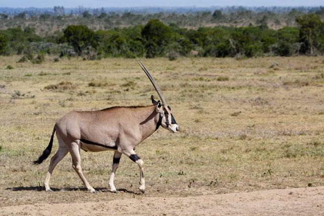 beisa-oryx, one of the special five animals in samburu national park