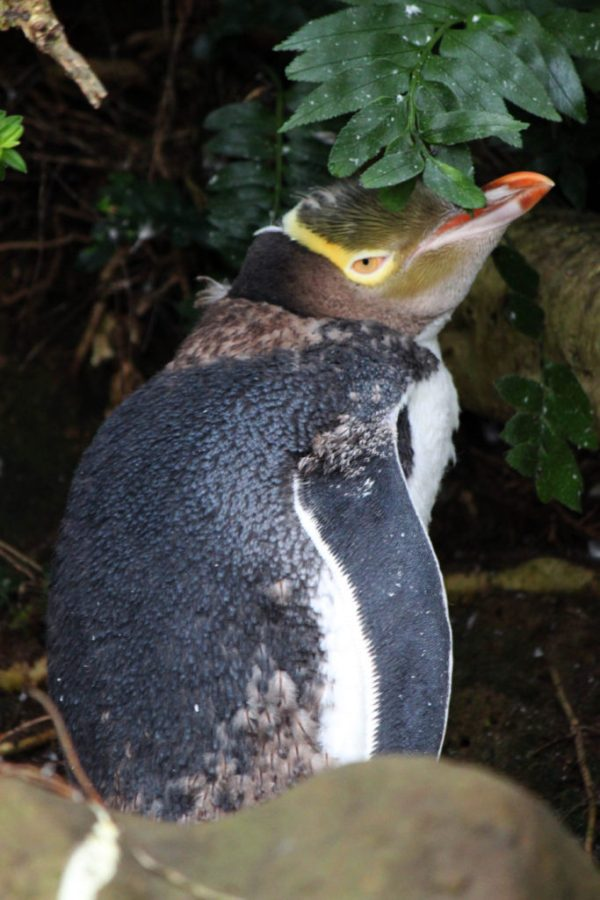 Discover one of the best places in New Zealand to see Yellow Eyed Penguins   9 reasons why the Catlins needs to be on your New Zealand itinerary #newzealand #thecatlins #curiobay #simplywander