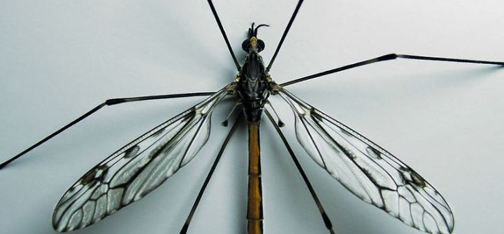 The Often Misunderstood Crane Fly