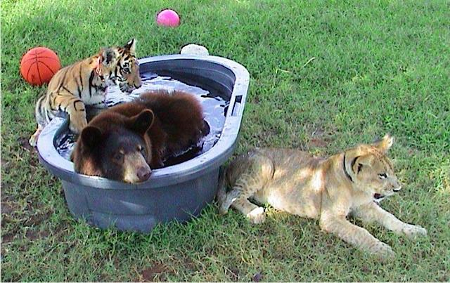 http://justsomething.co/wp-content/uploads/2019/11/lion-tiger-and-bear-were-rescued-as-cubs-and-now-they-are-best-friends-05.jpg
