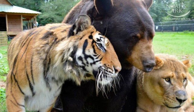 http://justsomething.co/wp-content/uploads/2019/11/lion-tiger-and-bear-were-rescued-as-cubs-and-now-they-are-best-friends-09.jpg