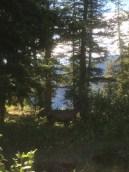 17 Deer (buck)