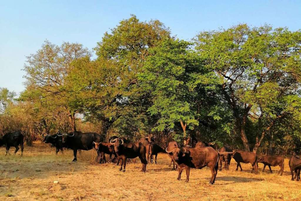 A herd of water buffalo watch us from the trees