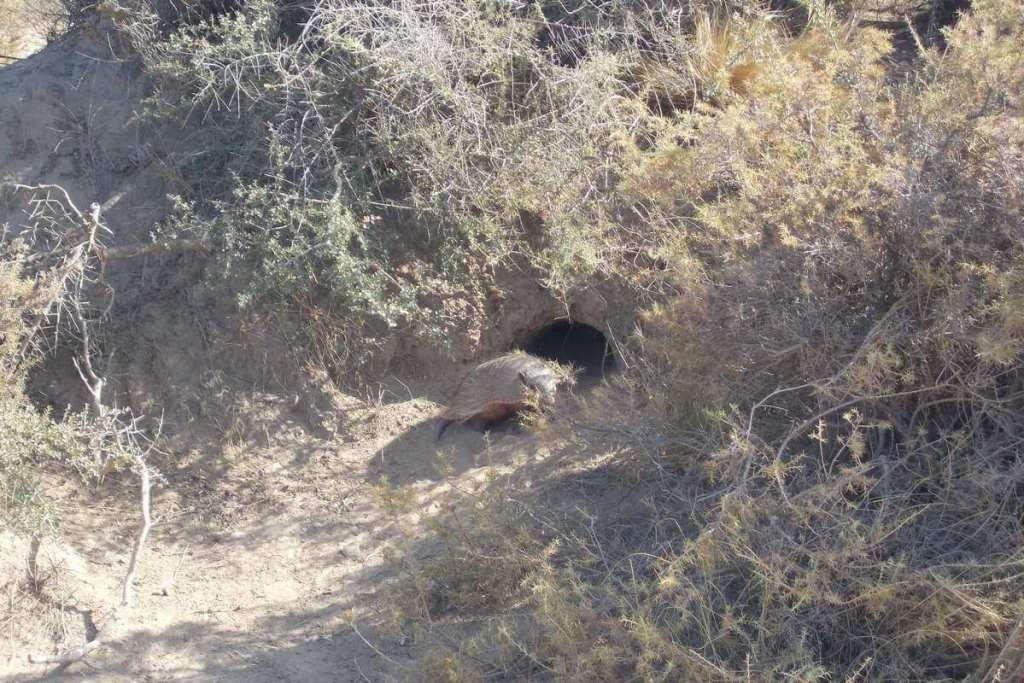 Armadillo entering his burrow