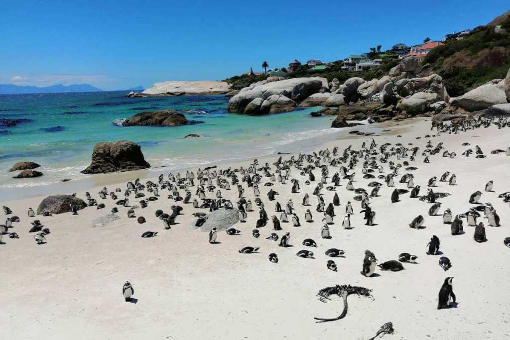 Penguins colony on the beach in Simon's Town