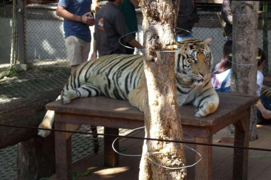Adult tiger at a big cat petting zoo