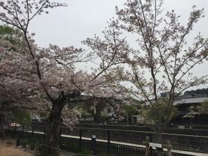 京都市動物園の桜