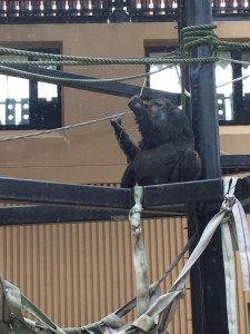京都市動物園妊娠中のゴリラ