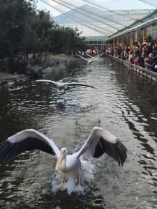 神戸動物王国で見たペリカンショー