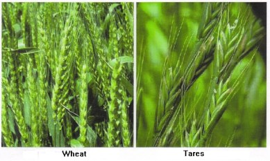 wheat-vs-tares