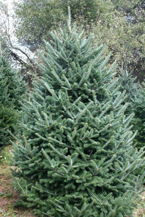http://www.motsingertrees.com/images/fraser-fir-christmas-tree.jpg
