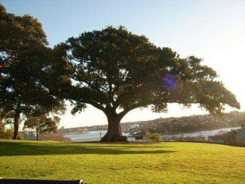 2652804-Australian-Fig-Tree-0