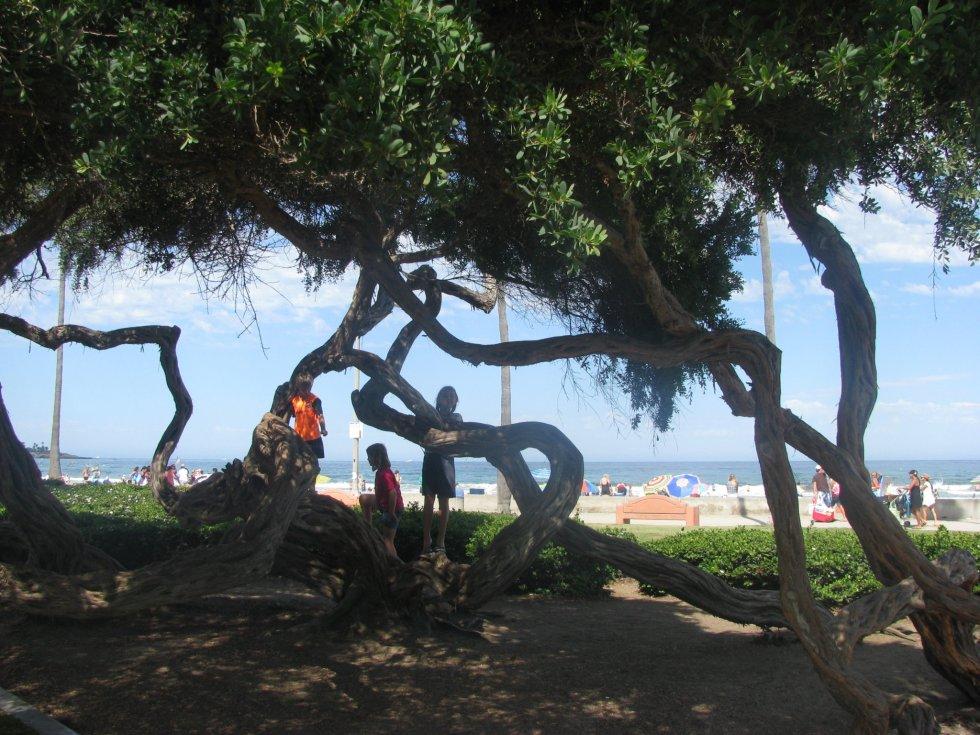 La Jolla Shores twisted trees