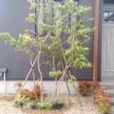 常緑ヤマボウシ・アオダモ植栽
