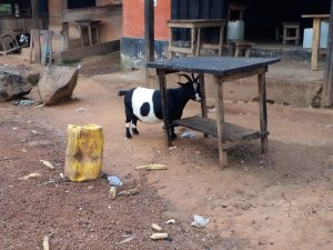 K in Motion Travel Blog. 6 Things To Know About Travel in Africa. Border Goat