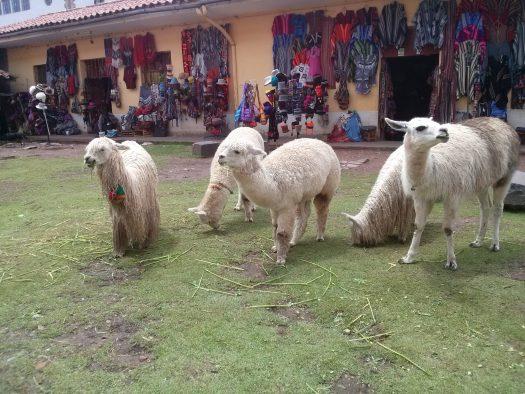 K in Motion Travel Blog. Alpacas Andean Mountain Town of Cusco, Cuzco Peru