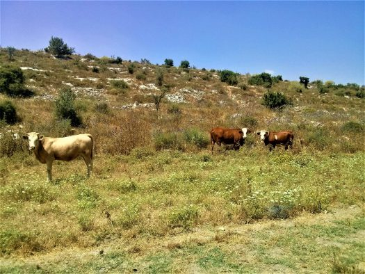 K in Motion Travel Blog. Religious Sites and Nature of Northern Israel. Cows on the Jesus Trail