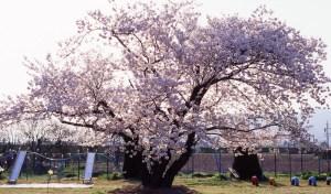 太郎桜 春