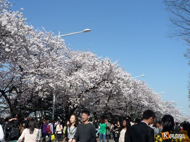 汝矣島-春の花祭り3