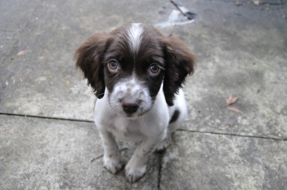 Bo - 9 Weeks old Springer Spaniel