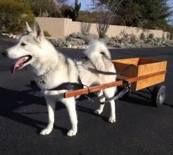 Luna- Husky Training Tuscon, AZ.