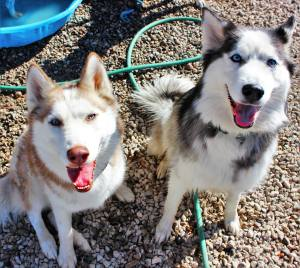 Siberian Husky Dog Training Tucson AZ