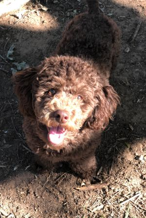 teddy-miniature-poodle-fort-worth