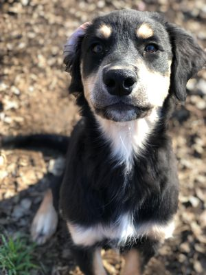 Aussie / Labrador Puppies from Hurst, Texas | K9 League Dog Training