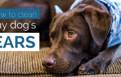 how to clean my dog's ears