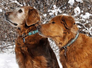 Как определить возраст взрослой собаки?   K9Science.net