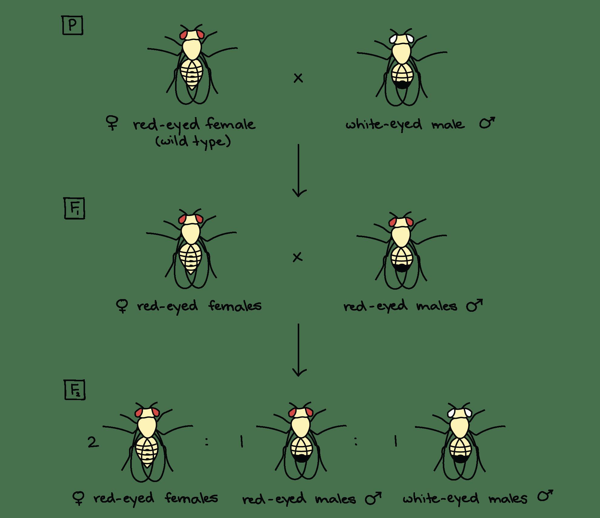 Drosophila Experiment Morgan
