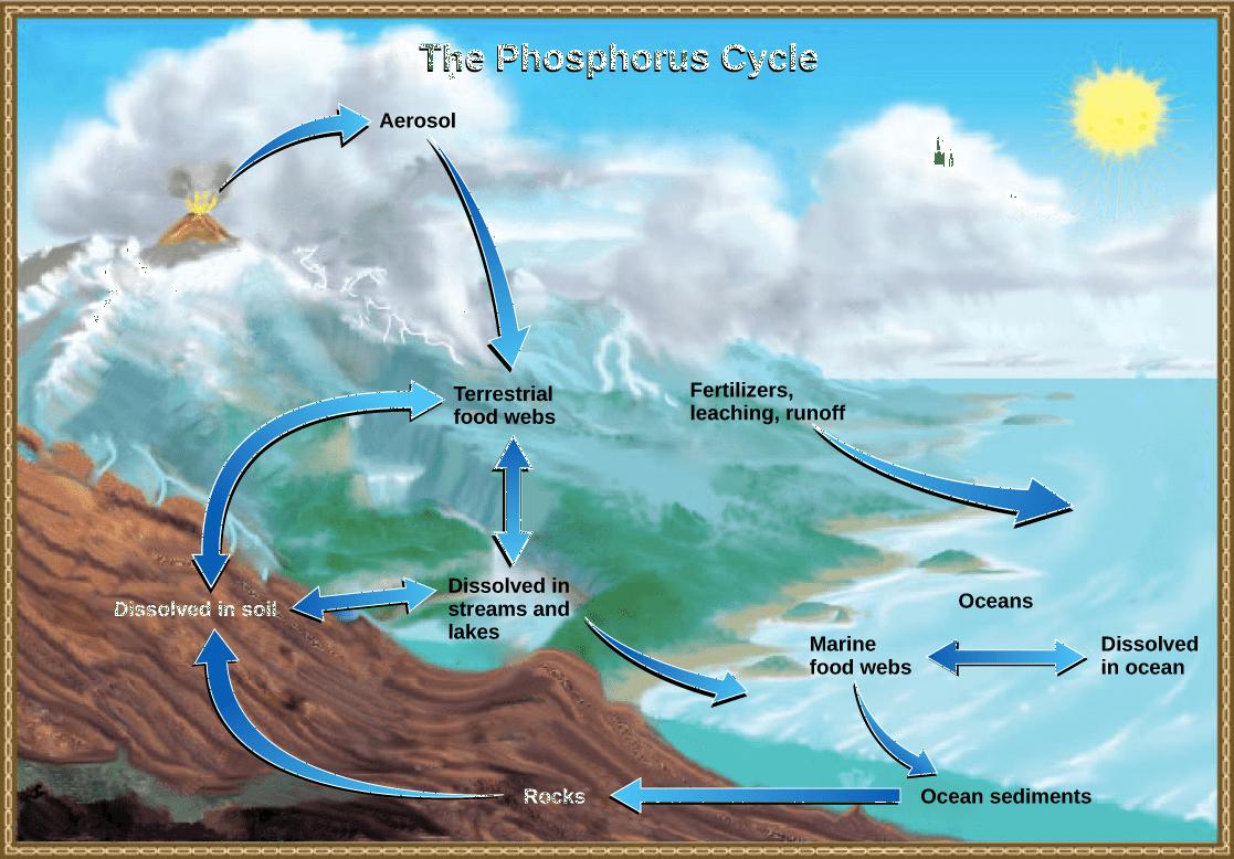 Phosphorus Cycle Easy Diagram