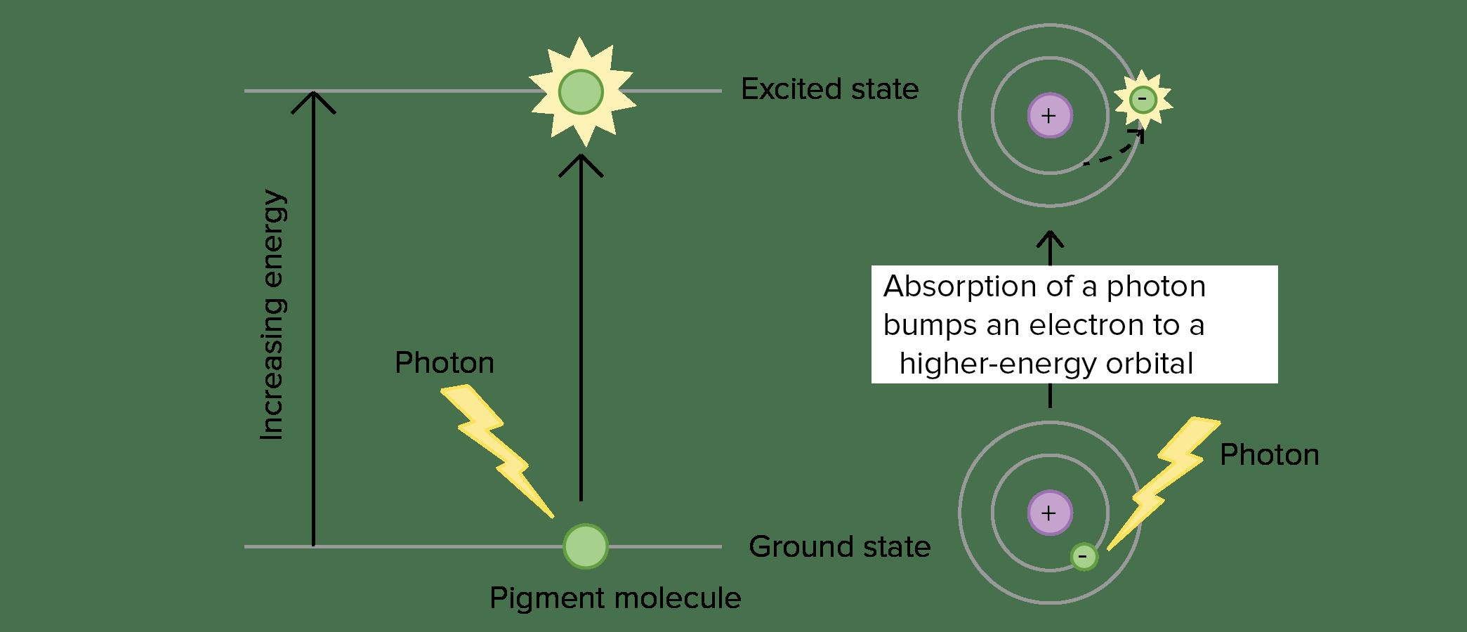 Light Dependent Reactions Diagram