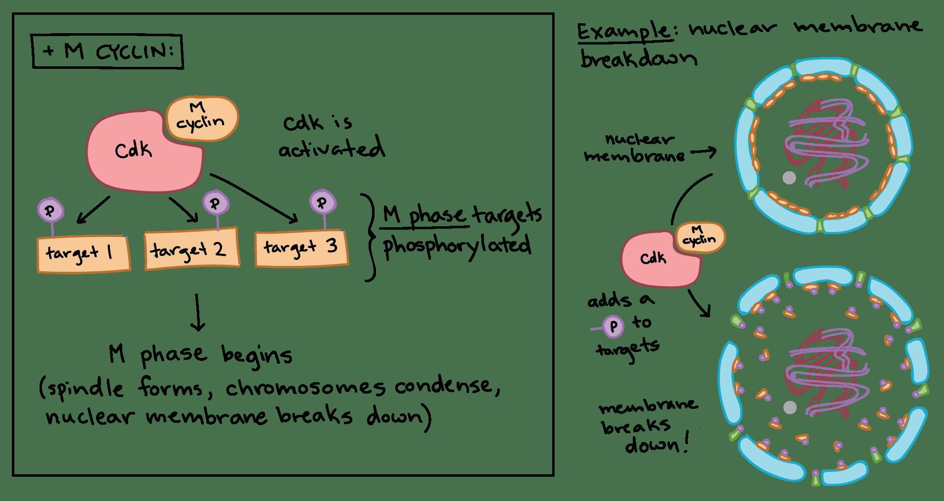 Cancer Definition Biology
