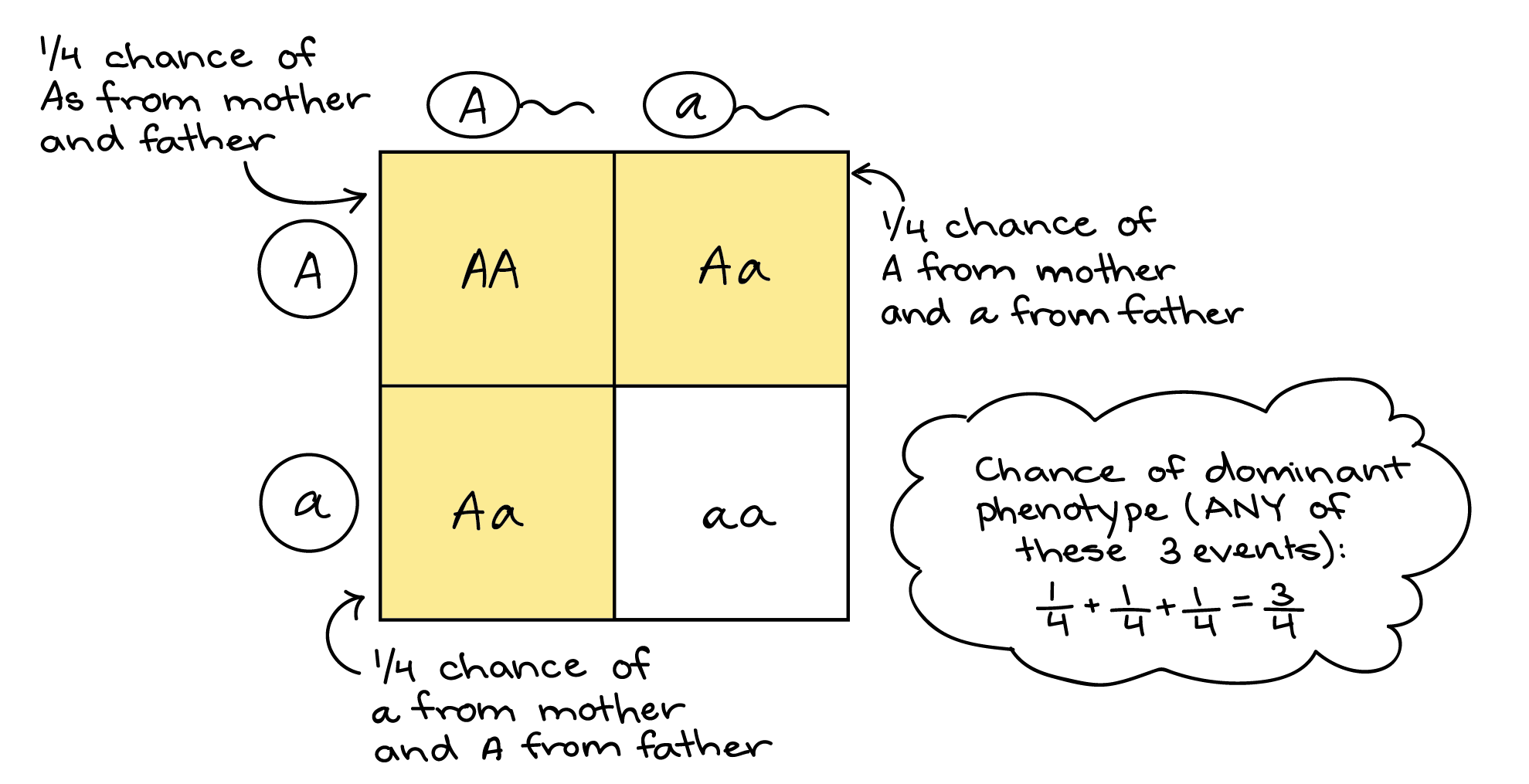 Homework Help With Punnett Squares And Probability