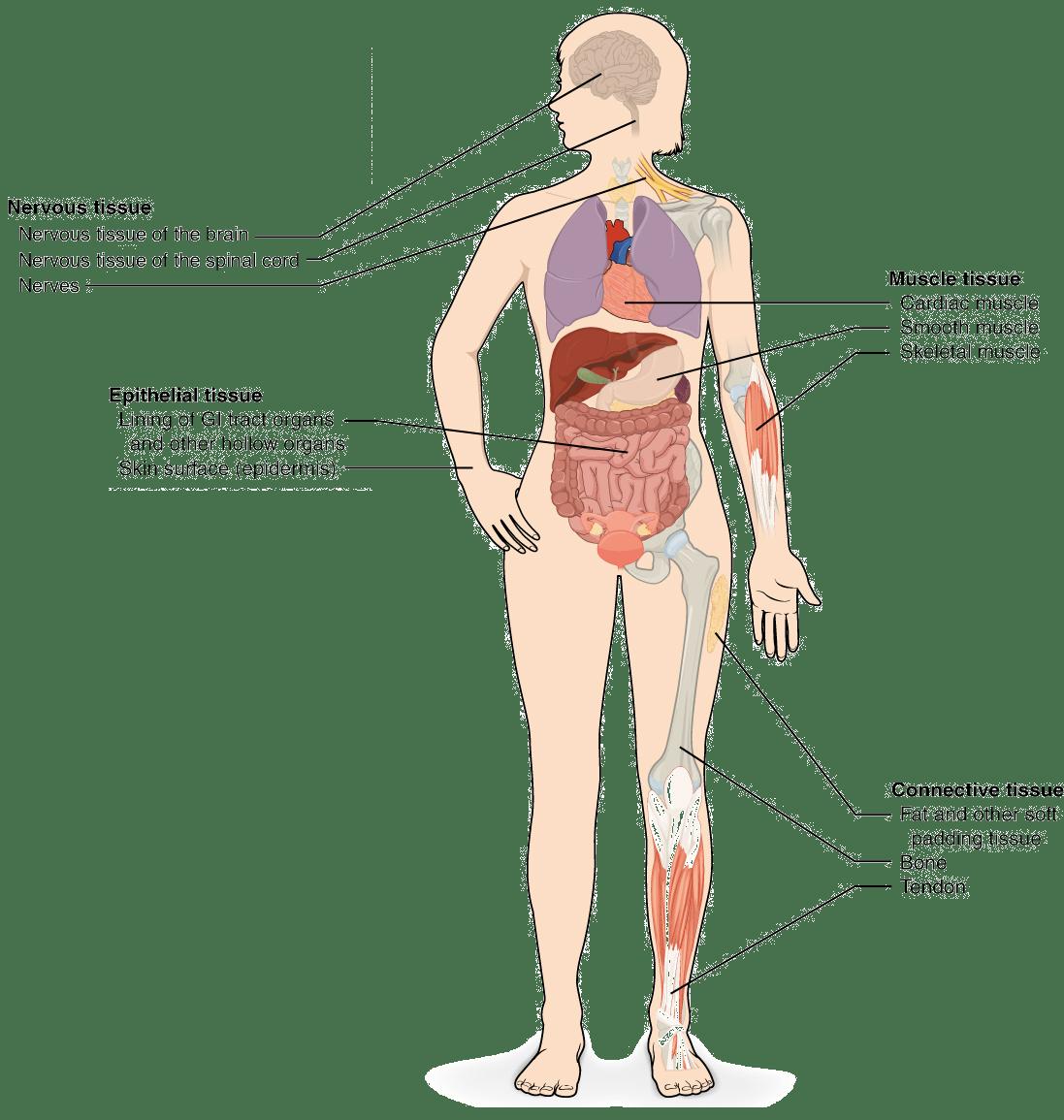 Niedlich Atmungssystem Zellen Ideen - Menschliche Anatomie Bilder ...
