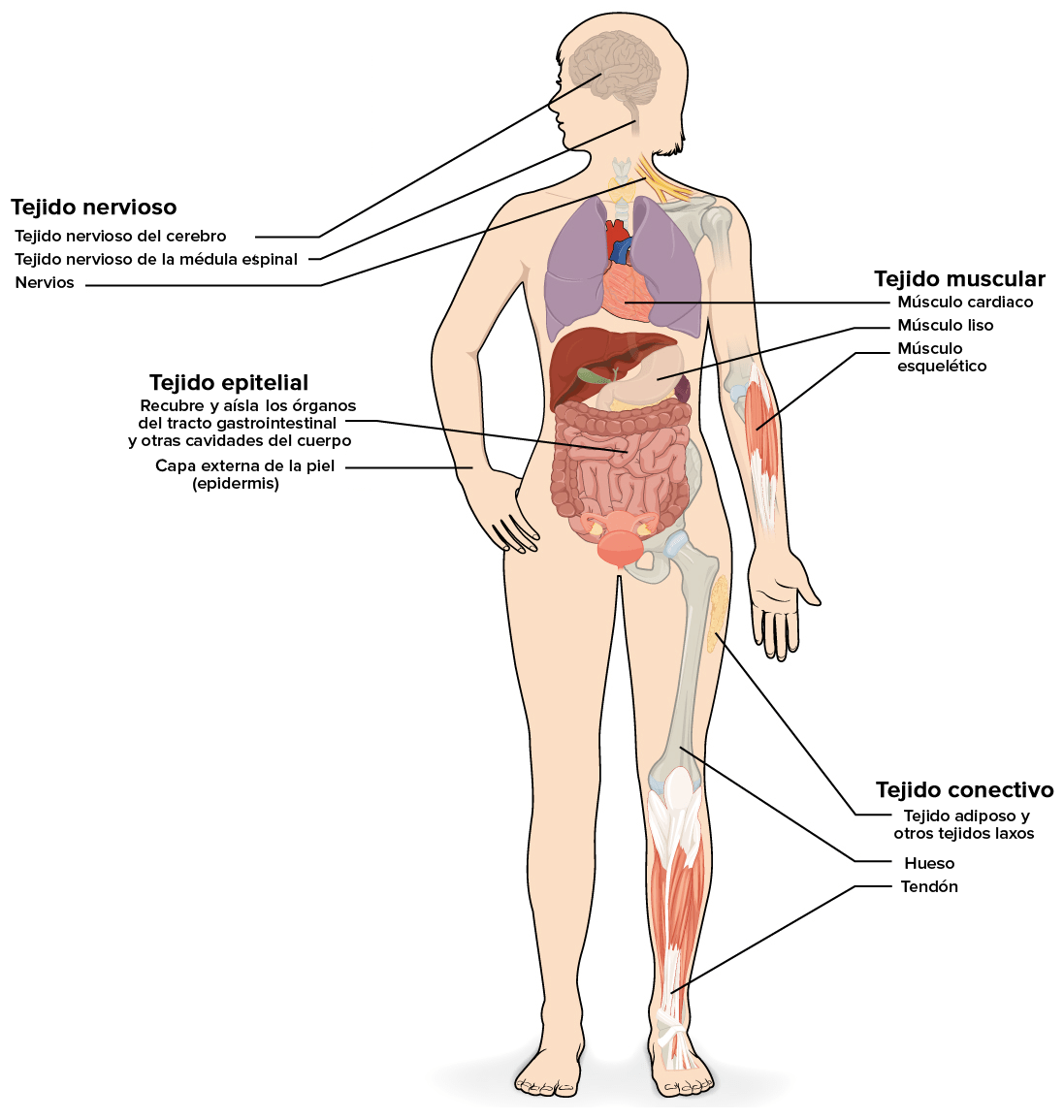 Musculos Del Cuerpo Humano Dibujo Perfect Mdulo Sistema