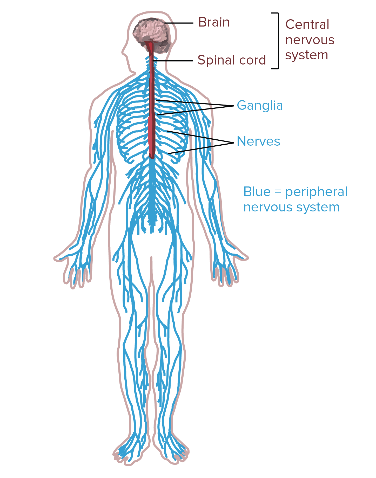 Nervous System Overview