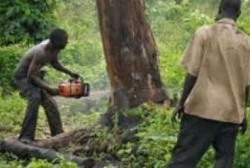 Kankan : La coupe abusive de bois prend de l'ampleur malgré les mesures des autorités.